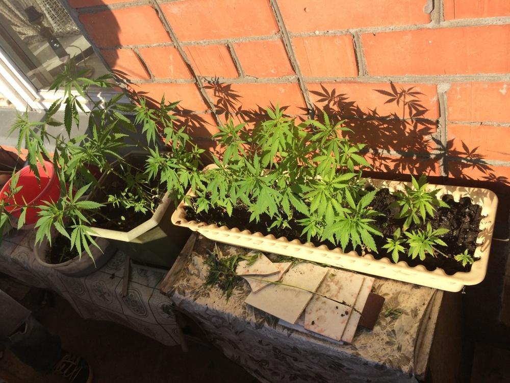 Выращивание канопля дома 1