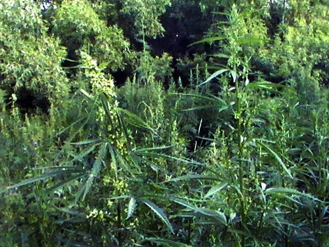 Плотность конопли мужские женские растения марихуаны