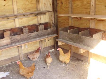 Голодные воры обчистили деревенский курятник